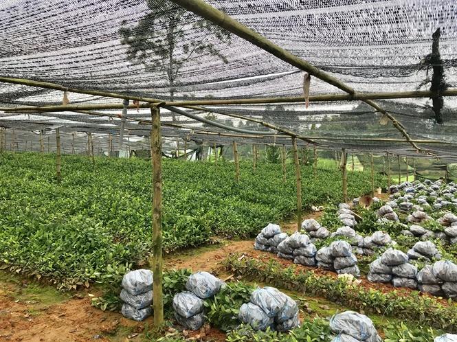 Ươm bầu chè giống bằng phương pháp giâm hom giúp các đơn vị thành viên chủ động trong việc trồng mới thay thế chè giống cũ bằng các giống mới có năng suất, chất lượng cao.