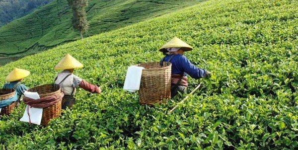 Chè ô long thường được nông dân thu hoạch và bán tươi
