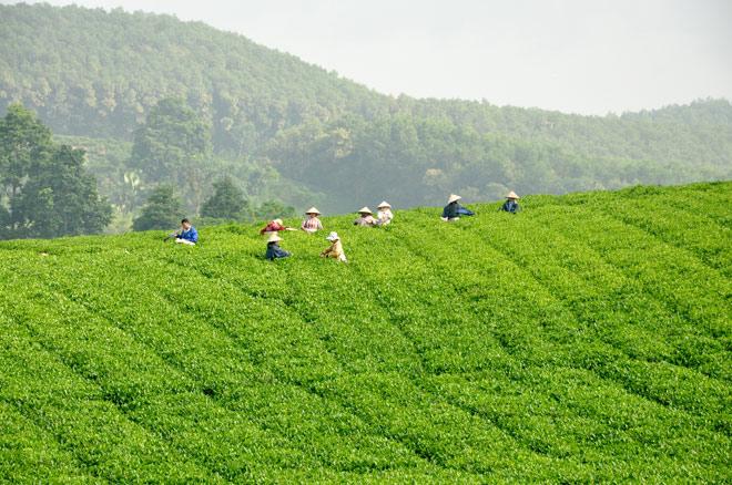 Mô hình chè sạch tại thôn Làng Bát, xã Tân Thành (Hàm Yên).