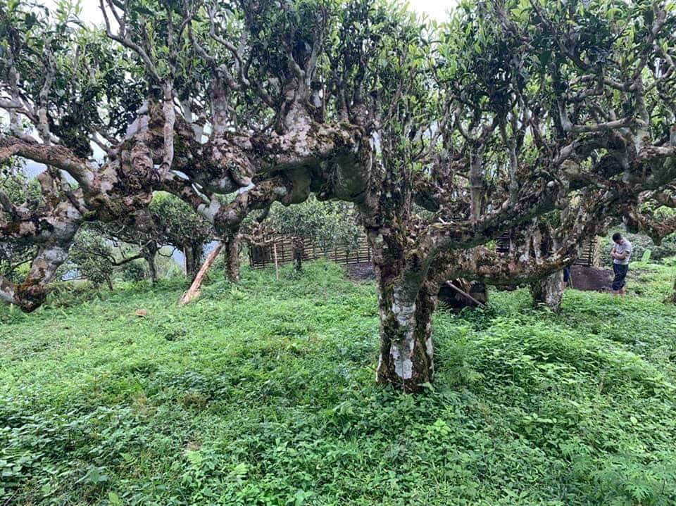 Cây chè Shan tuyết Hà Giang thân gỗ cổ thụ, to lớn nhiều cành