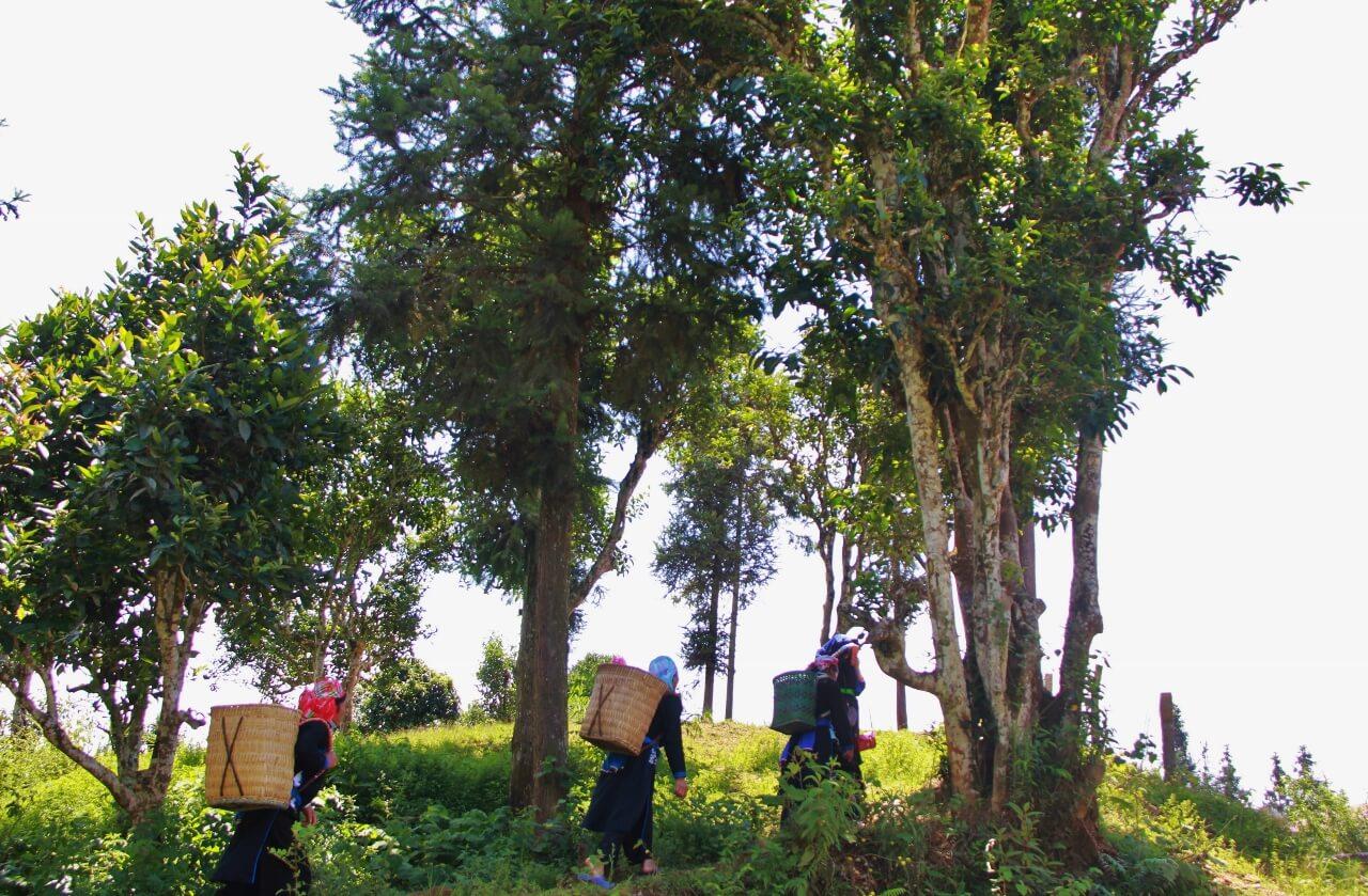 Cây chè Trung Quốc lá to, dạng thân nữa gỗ