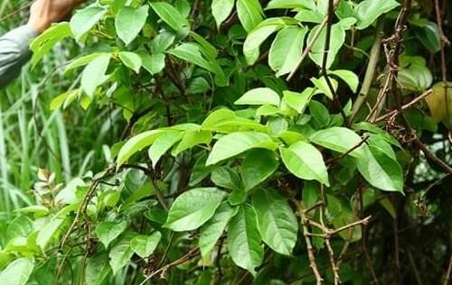 Công dụng của cây chè rừng