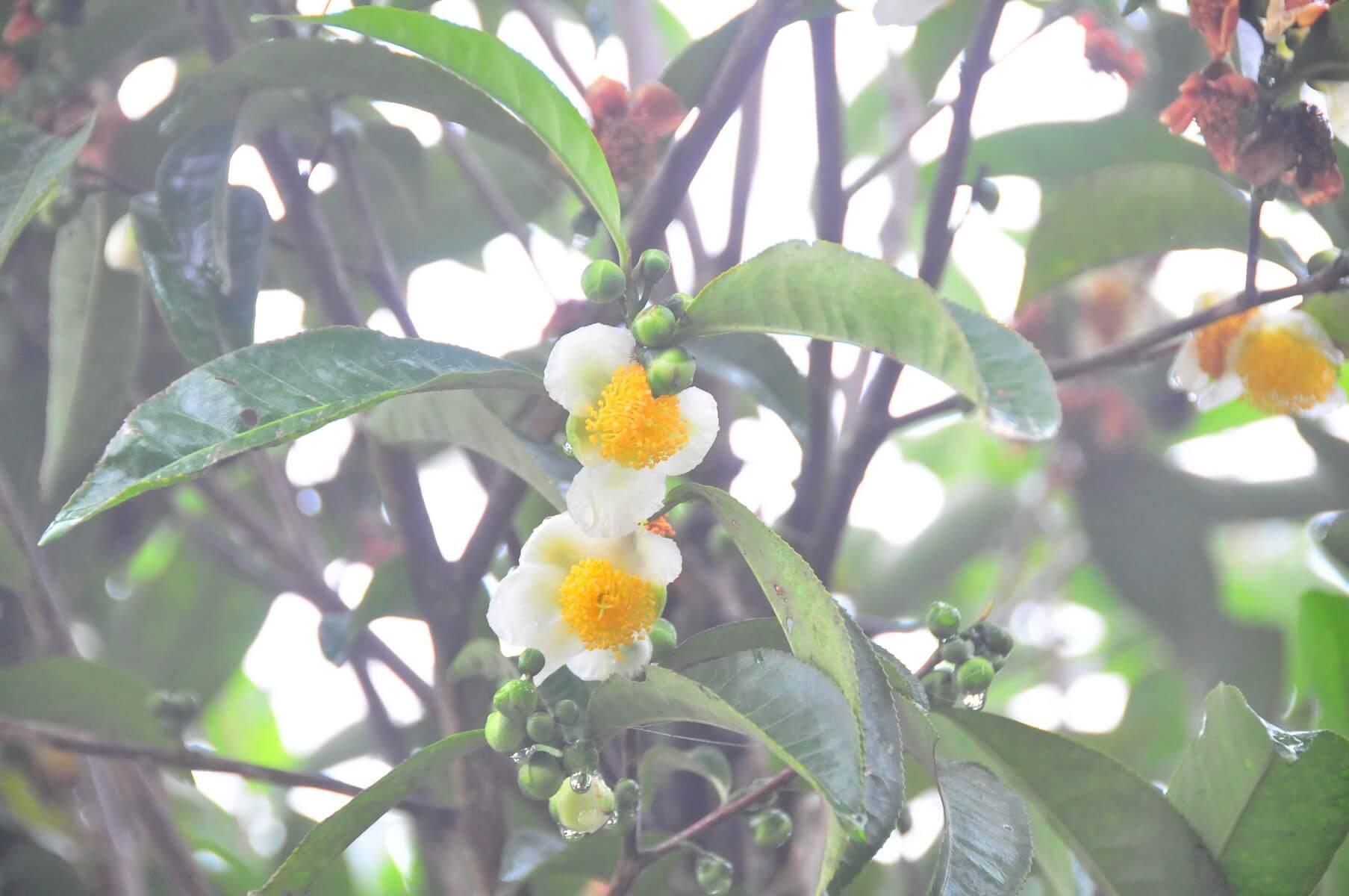 Đặc điểm về hoa, quả của cây chè