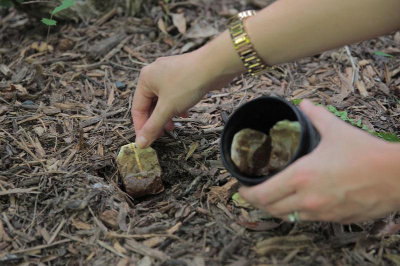 Một vài lưu ý nhỏ khi dùng bã chè bón cây