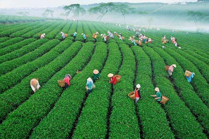 Sản lượng chè Việt Nam những năm gần đây