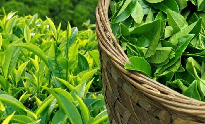 Thực trạng thị trường của cây chè ở Việt Nam