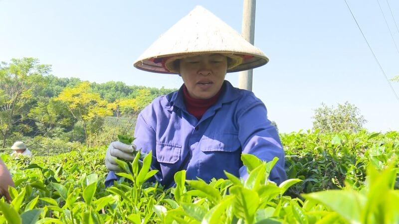 Tình hình sản xuất cây chè tại Việt Nam những năm gần đây