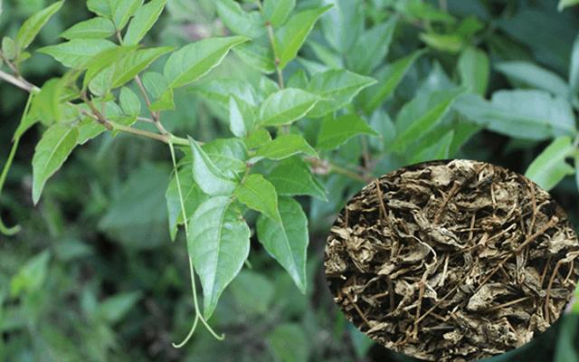 Đau dạ dày tá tràng có thể chữa được nhờ cây chè rừng