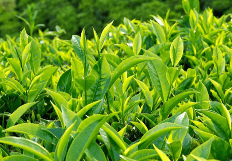 Sự thật về nguồn gốc của cây trà