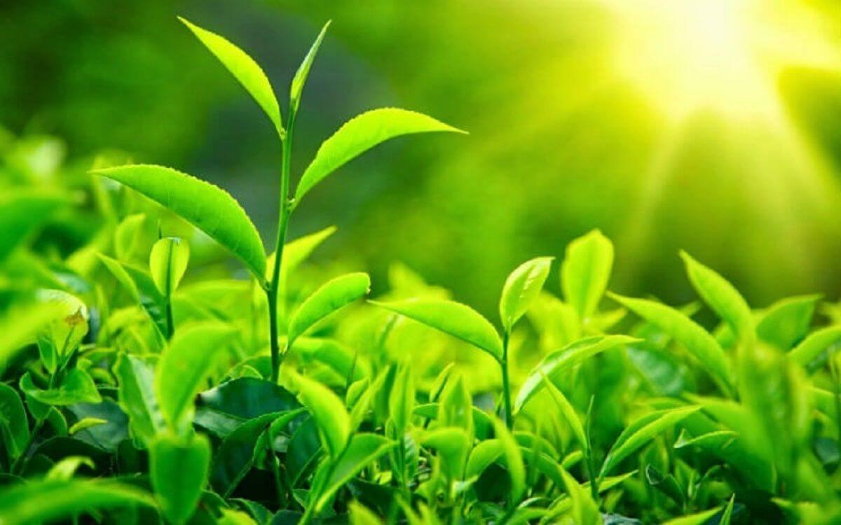Đặc điểm hình thái của cây chè xanh