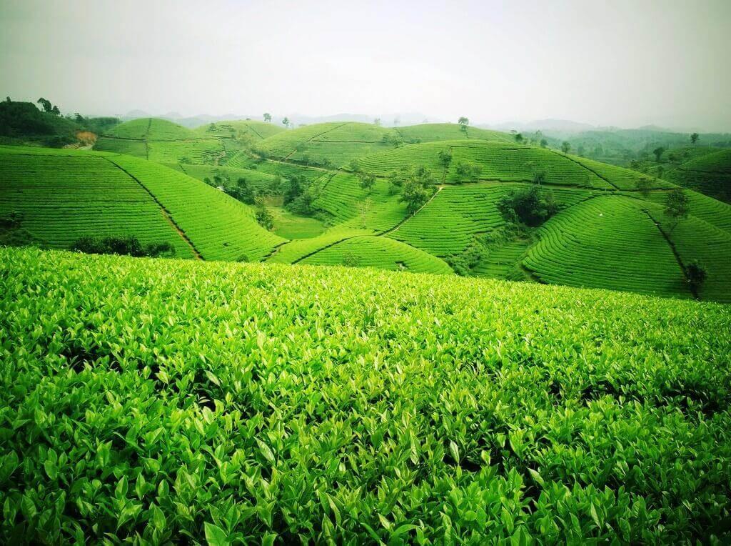 Vùng Tân Cương, Thái Nguyên - Được mệnh danh là Đệ Nhất Danh Trà