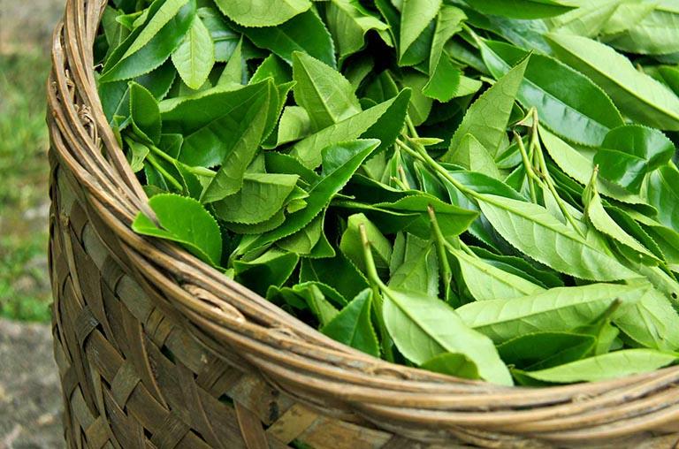 Những dược tính của cây trà xanh