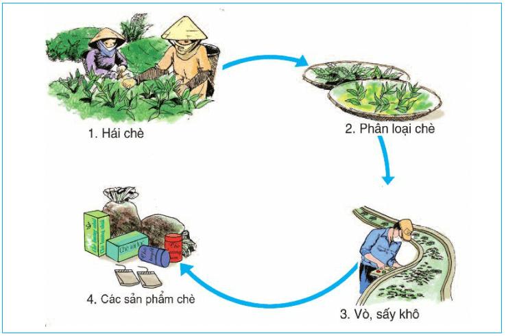 Tìm hiểu về quy trình sản xuất chè xanh (trà)