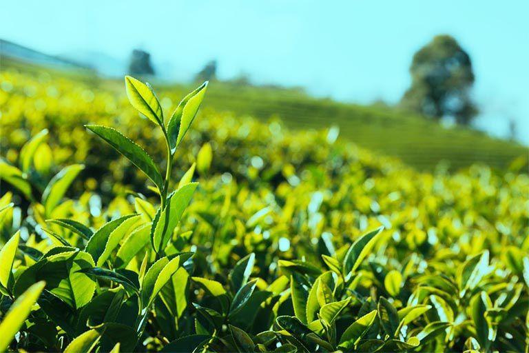 Tác dụng của cây trà xanh đối với sức khỏe