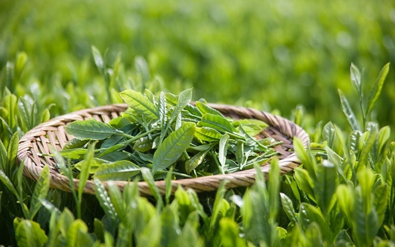 Thành phần hóa học có trong cây trà xanh
