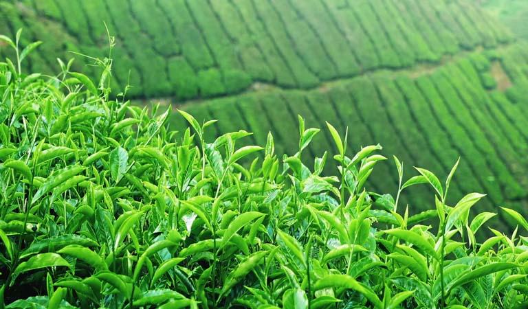 Thời vụ và mật độ trồng cây trà