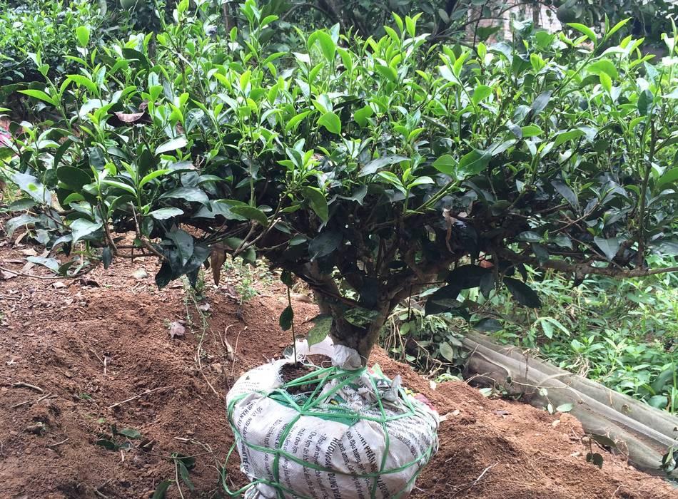 Quy trình trồng cây trà xanh kiểng bonsai
