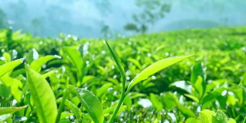 Nguồn gốc cây trà xanh