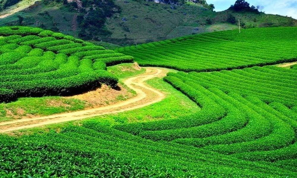 Vùng trà Bảo Lộc, Lâm Đồng