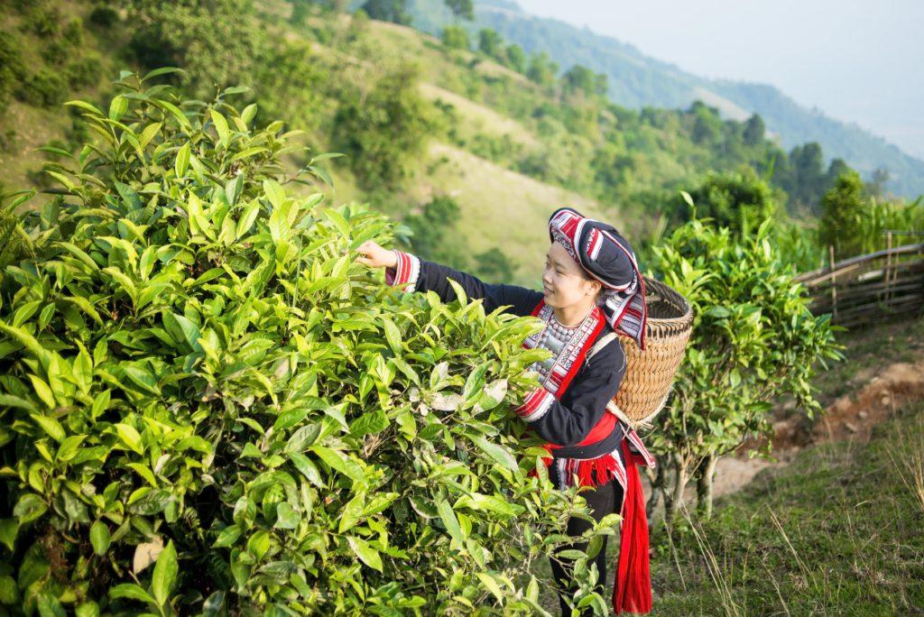 Các vùng trồng cây trà ở tây bắc